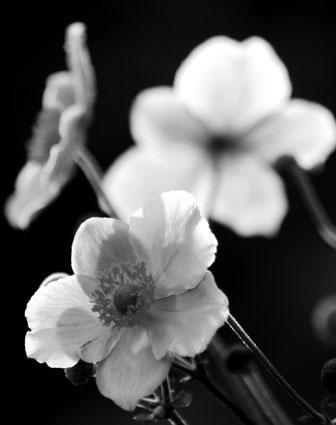 Japanese anemone 1