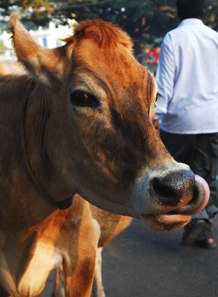 Mysore cow