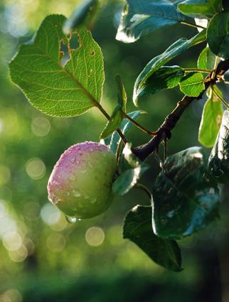 Mooi River apple